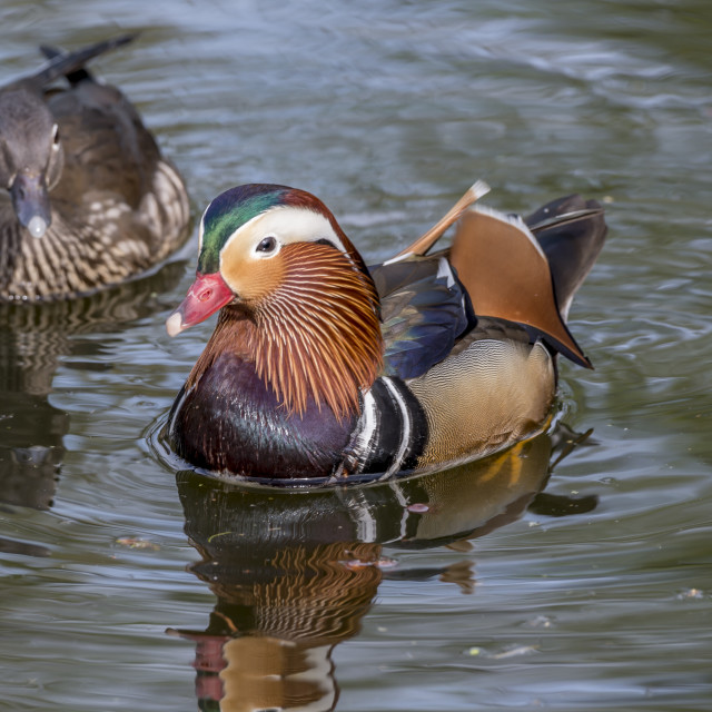 """Pair of Mandarin Ducks"" stock image"