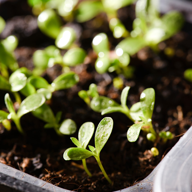 """""""Several first spring sprouts in plastic boxes"""" stock image"""