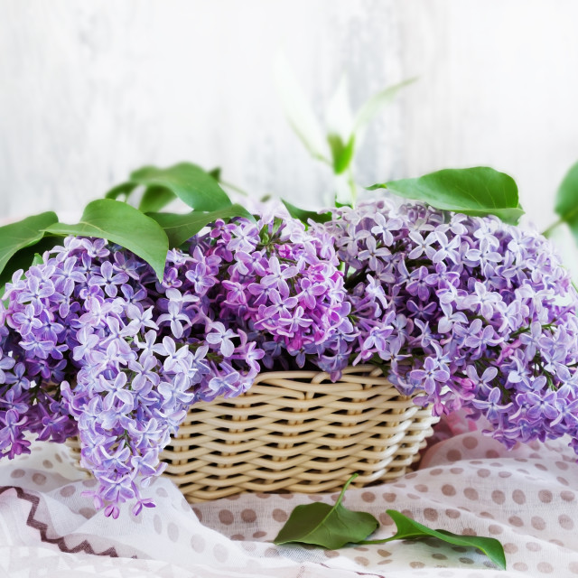 """""""fresh lilacs in a basket"""" stock image"""