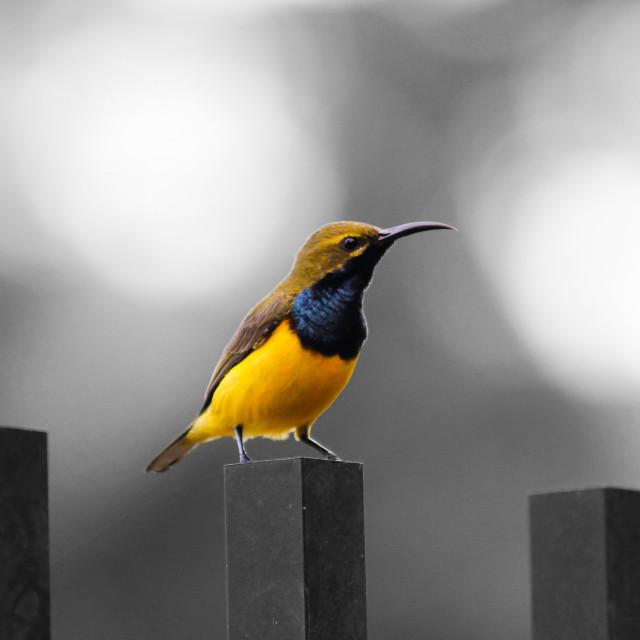 """""""Olive Backed Sunbird"""" stock image"""