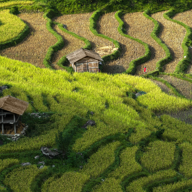 """MOUNTAIN RICE FIELD"" stock image"