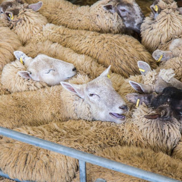 """""""Sheep market"""" stock image"""