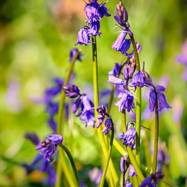 """Bluebells Close Up 2016"" stock image"