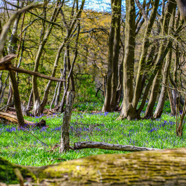 """Bluebell Woods Of Essex"" stock image"