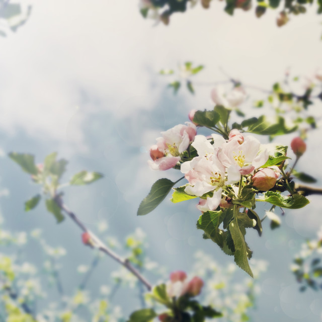 """flowering apple tree"" stock image"