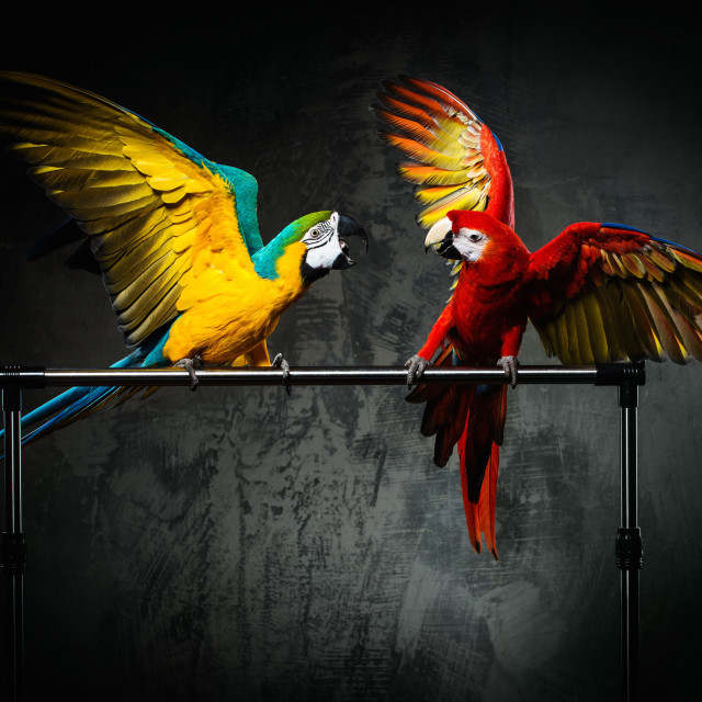 """""""Two colourful parrots fighting"""" stock image"""