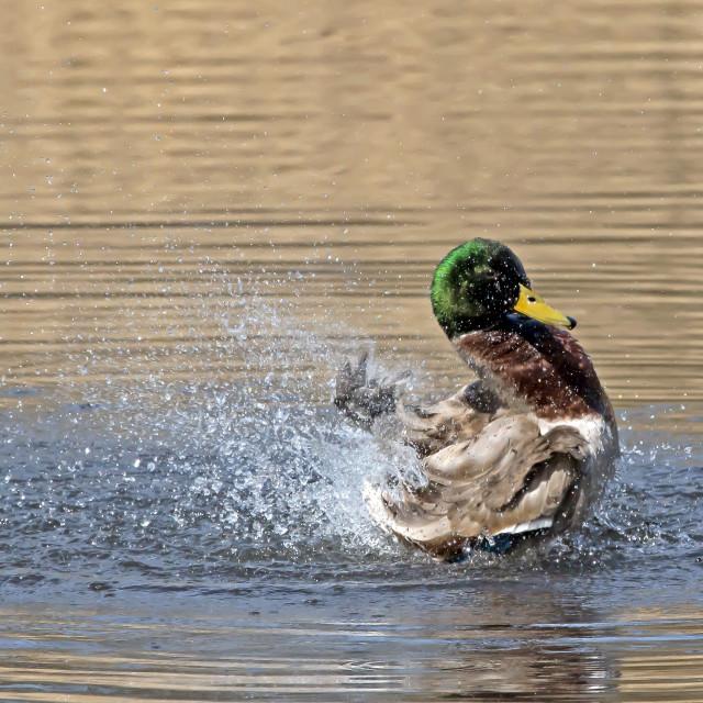 """Mallard Duck Splash 2."" stock image"