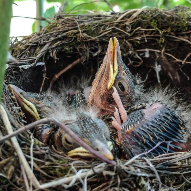 """Small nestlings bird in nest with open eye"" stock image"