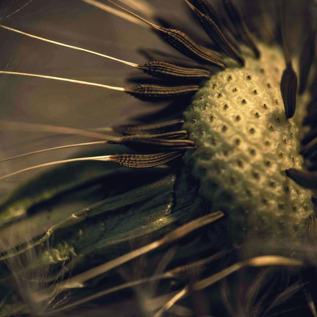 """""""Dandelion macro 2"""" stock image"""