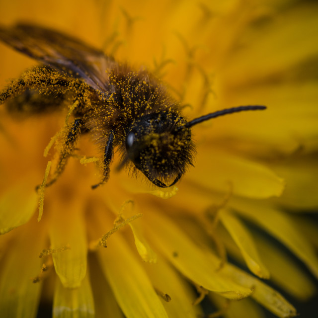 """""""A wasp cover in pollen in a wild Dandelion"""" stock image"""