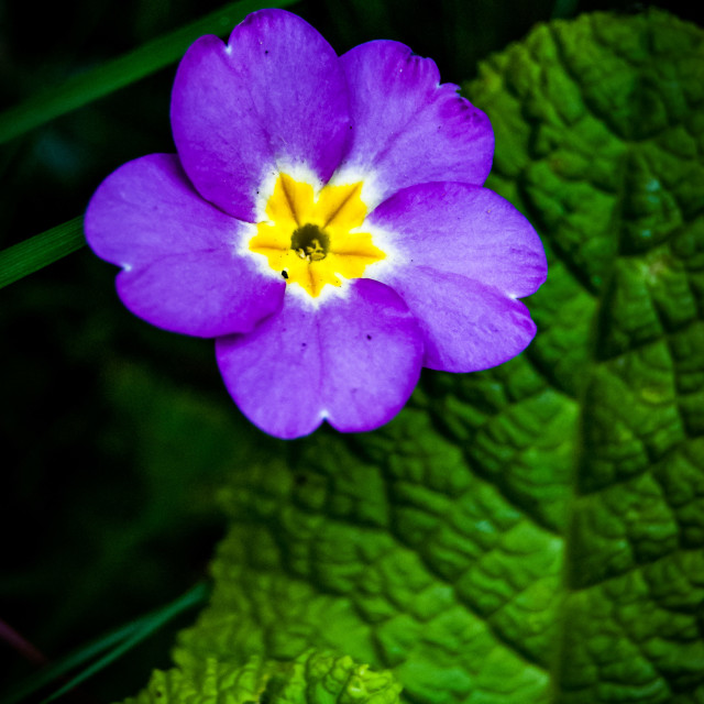 """""""Spring flower - purple and yellow"""" stock image"""
