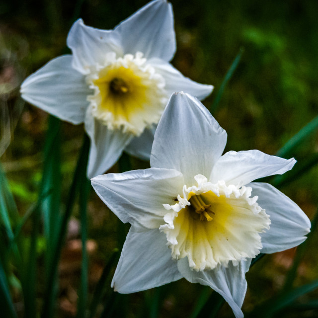 """""""White and yellow flowers"""" stock image"""