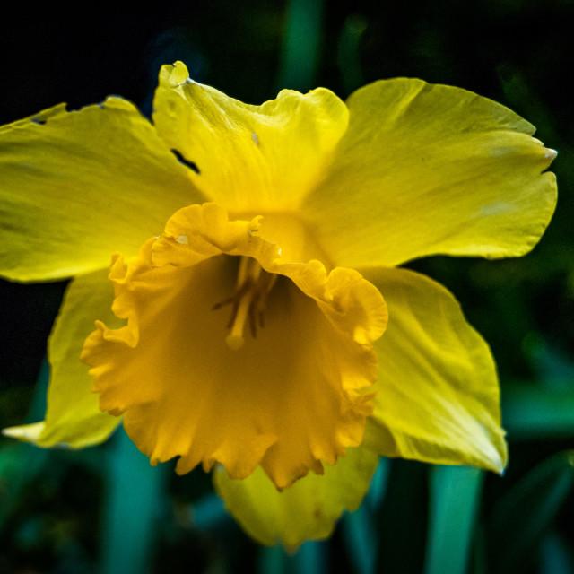 """""""Yellow daffodil"""" stock image"""