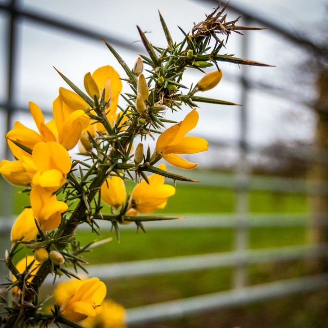 """""""Gorse and field gate"""" stock image"""