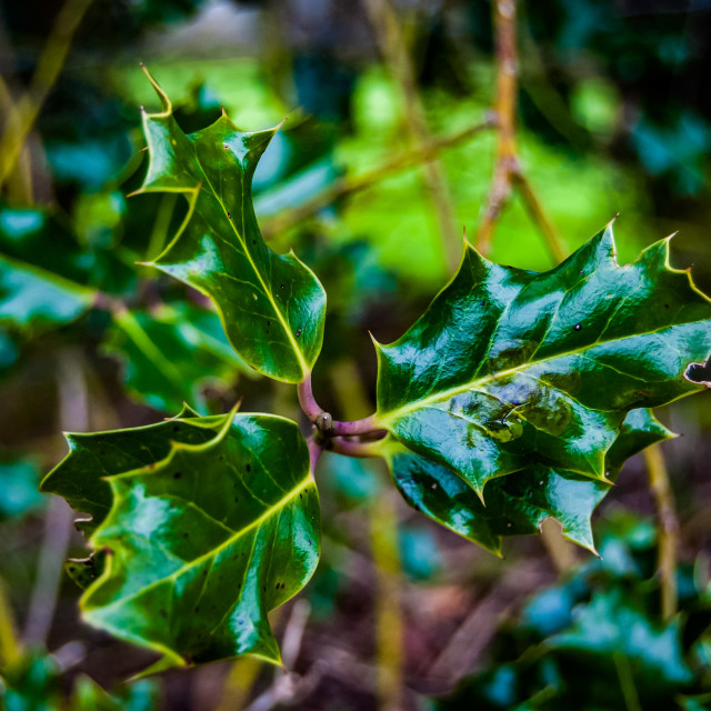 """""""Holly leaves in spring"""" stock image"""