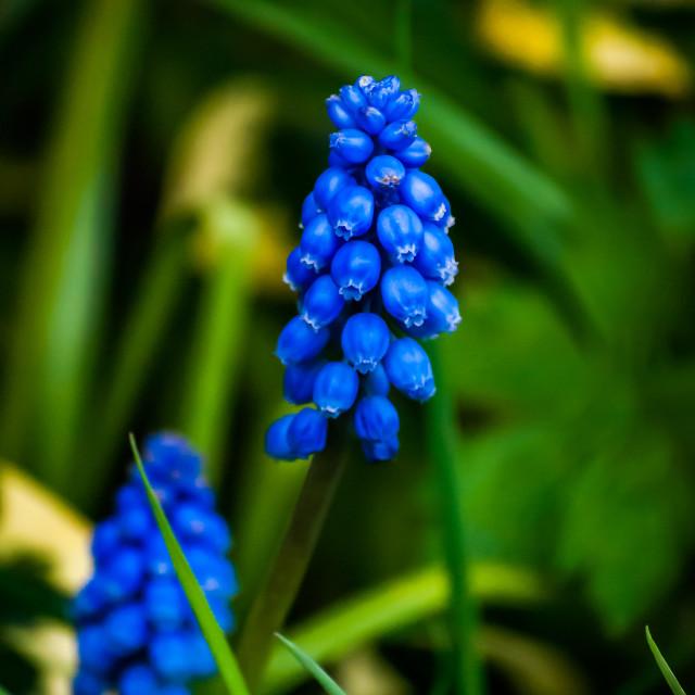 """Blue flowers"" stock image"