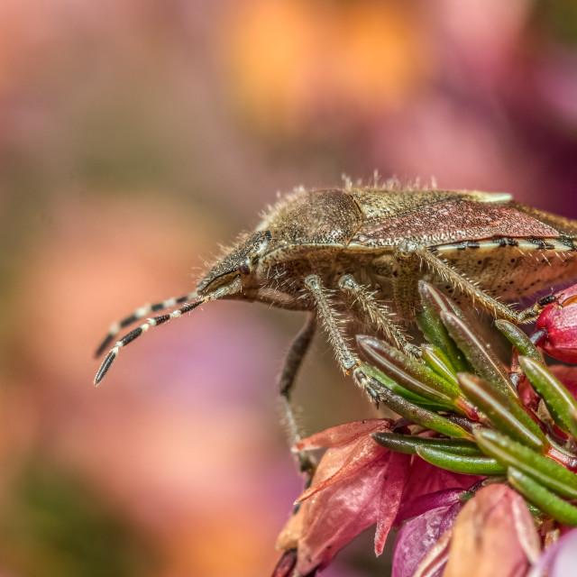 """""""Hairy Shield Bug (Dolycoris baccarum)"""" stock image"""