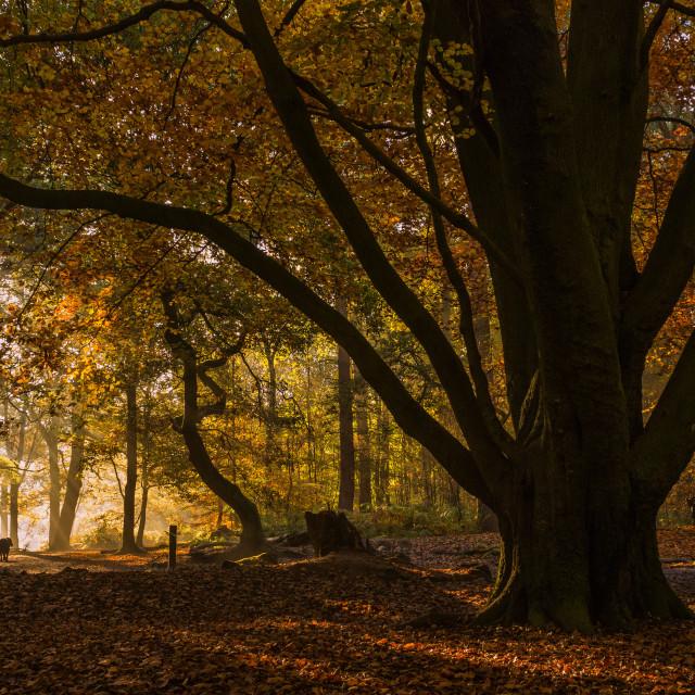 """""""Autumn Woodland Dog Walk"""" stock image"""
