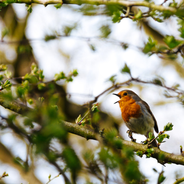 """Singing Robin"" stock image"