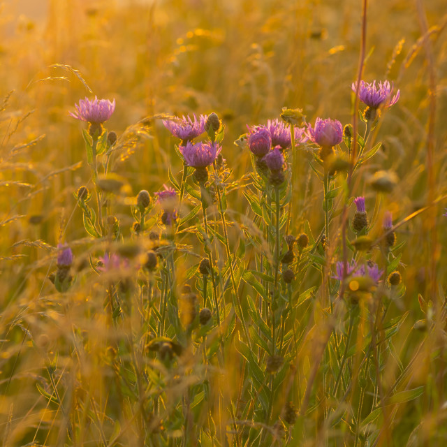 """Summer Thistles"" stock image"