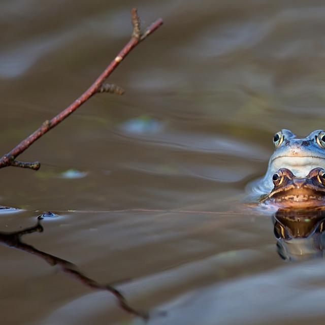 """Moor frogs in the wild"" stock image"