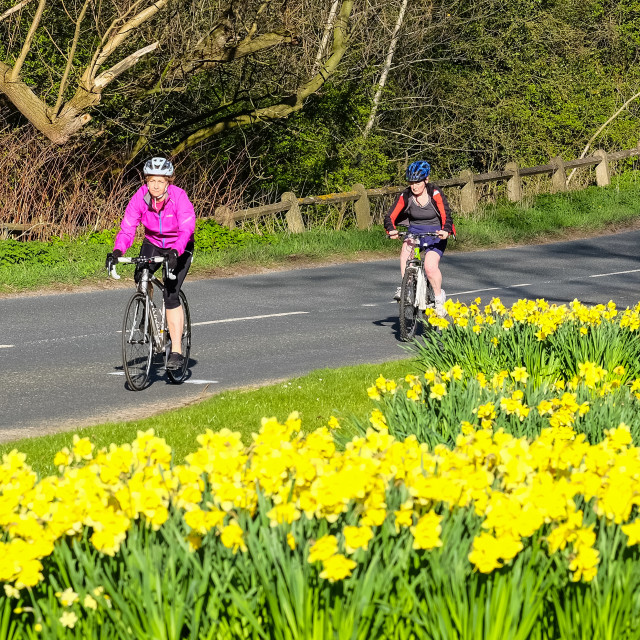 """Tour de Yorkshire 2016 cyclists ride past spring daffodils on the race route"" stock image"