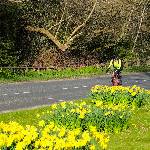 """Tour de Yorkshire 2016 a cyclist rides past spring daffodils on the race route 1"" stock image"