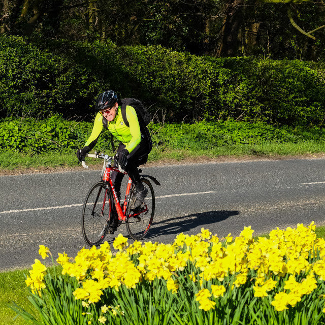 """Tour de Yorkshire 2016 a cyclist rides past spring daffodils on the race route 3"" stock image"