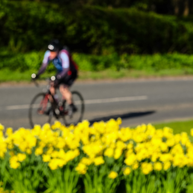 """Tour de Yorkshire 2016 a cyclist rides past spring daffodils on the race route 4"" stock image"