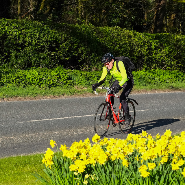 """Tour de Yorkshire 2016 a cyclist rides past spring daffodils on the race route 2"" stock image"
