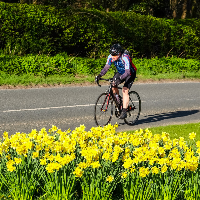 """Tour de Yorkshire 2016 a cyclist rides past spring daffodils on the race route 5"" stock image"