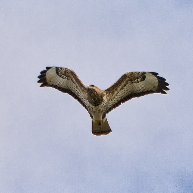 """flying common buzzard"" stock image"