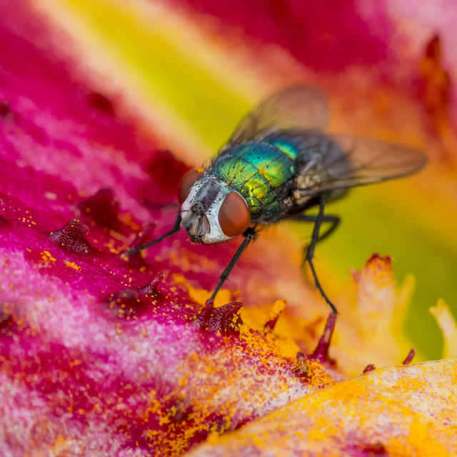 """Green Bottle Fly"" stock image"