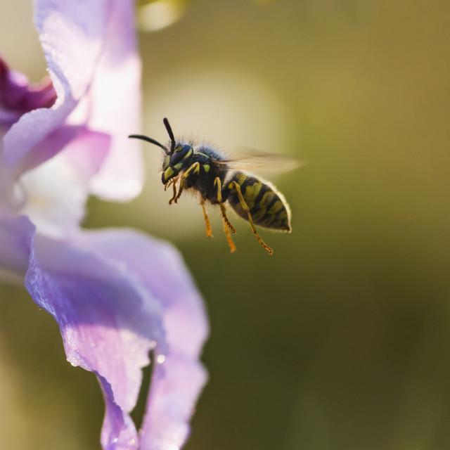 """Flying Wasp"" stock image"