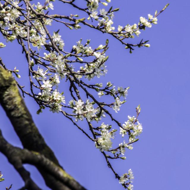 """Bright Spring Blossom 2"" stock image"