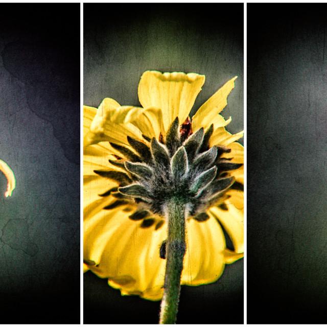 """""""Desert Sunflower"""" stock image"""