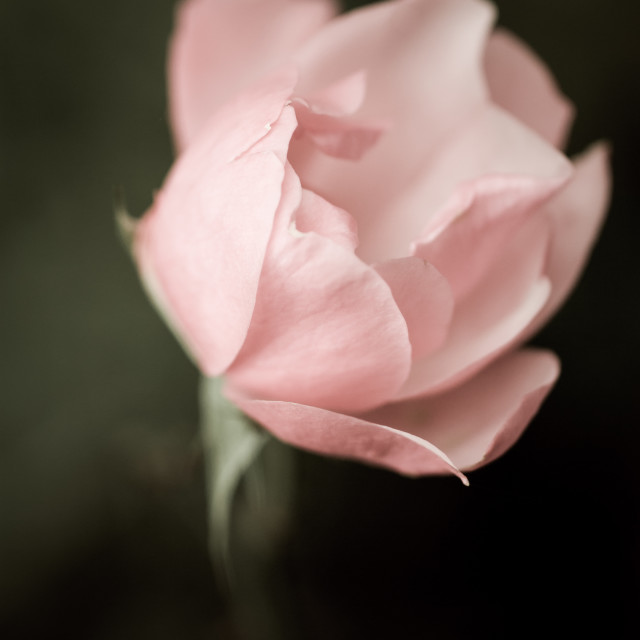 """""""pink rose blossom"""" stock image"""