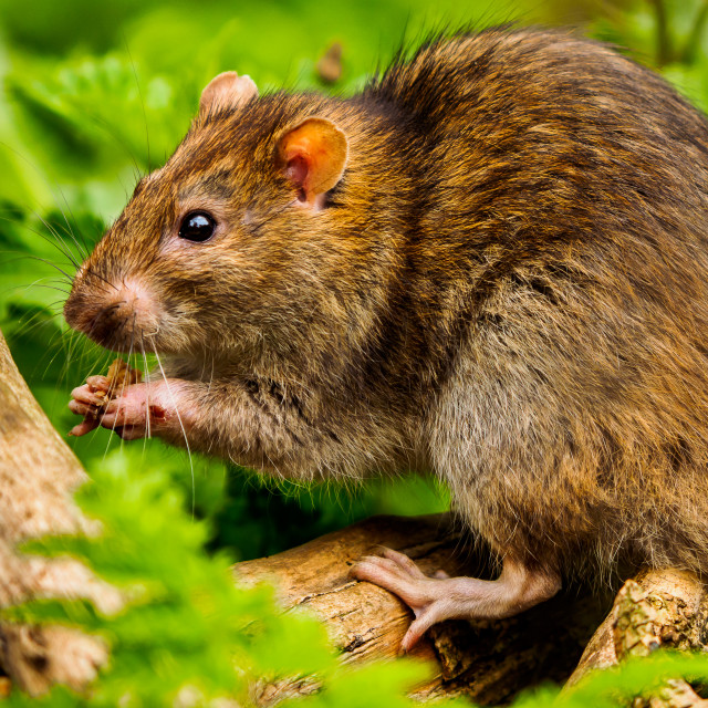 """Ratty having a nibble"" stock image"