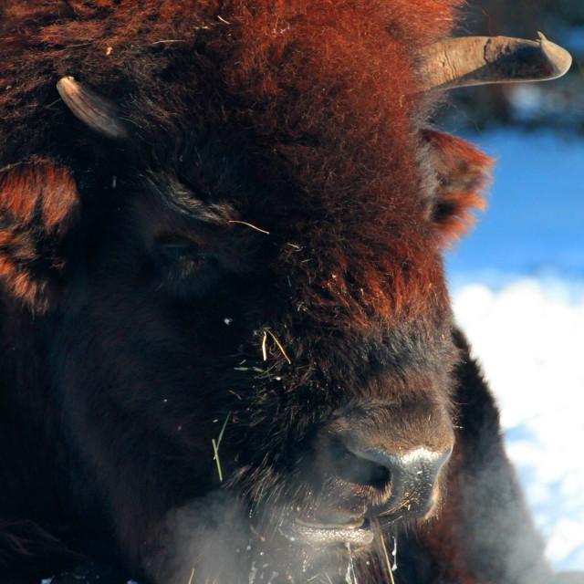 """Wood Buffalo in winter"" stock image"