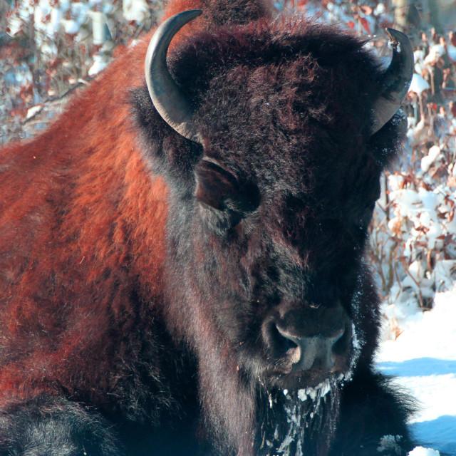 """""""Elder wood buffalo in winter"""" stock image"""