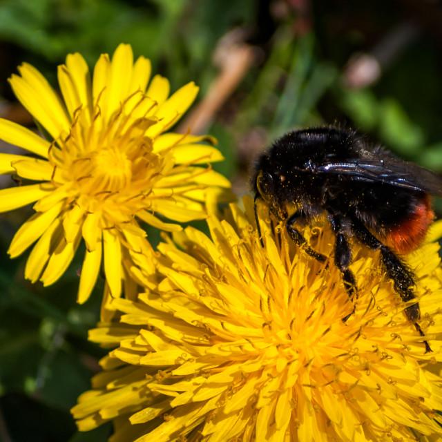 """""""Bumblebee on dandelion"""" stock image"""