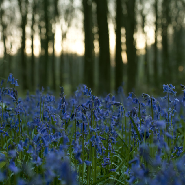"""Bluebell blanket"" stock image"