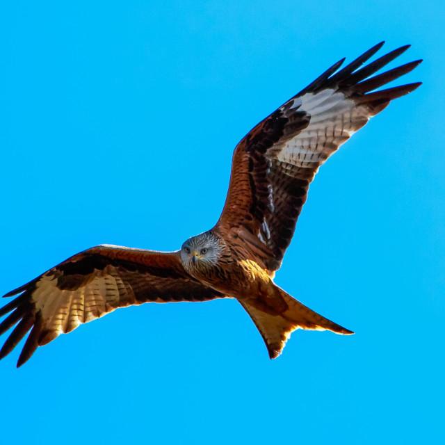 """Hunting eagle"" stock image"