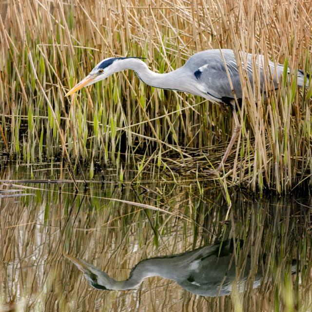"""""""Grey Heron Stalking"""" stock image"""