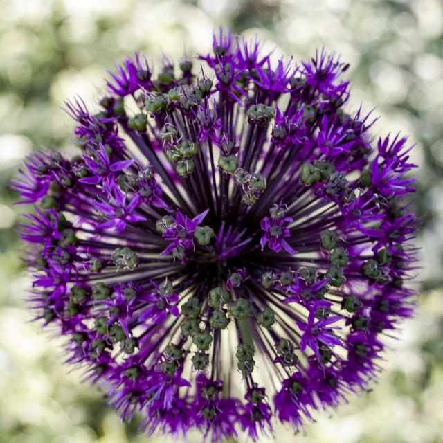 """""""Allium Hollandicum Purple Sensation"""" stock image"""