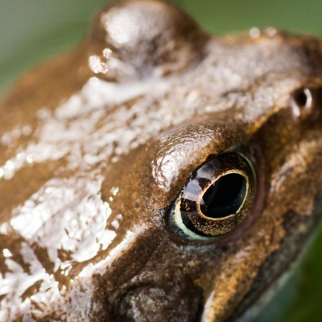 """""""Frog Macro"""" stock image"""