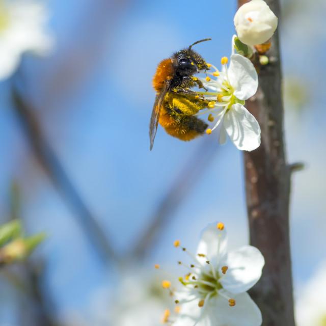 """""""Tawny mining bee"""" stock image"""