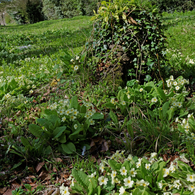 """Wild Primroses (Primula Vulgaris) in a UK woodland."" stock image"