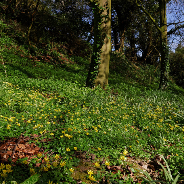 """Lesser Celandines (Ficaria Verna) in a UK Wood"" stock image"