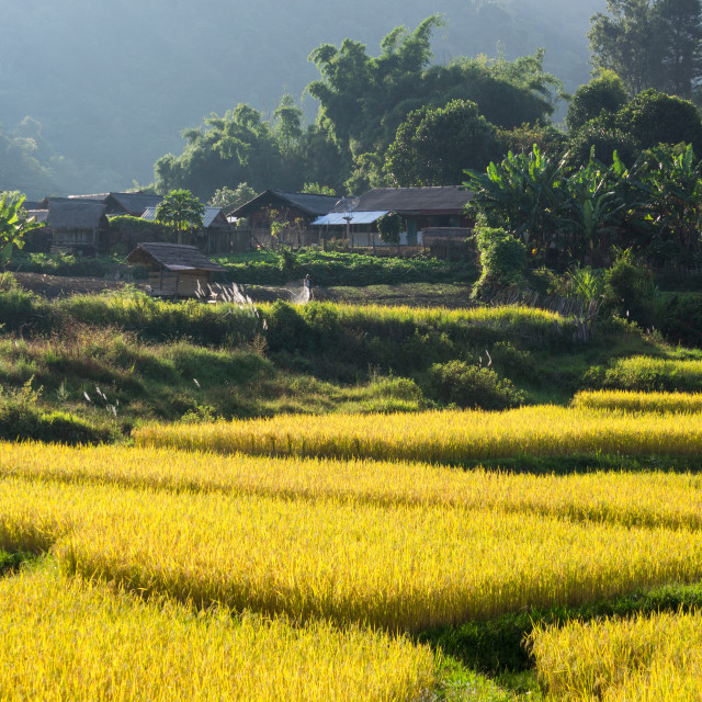 """Laos Paddy Fields"" stock image"